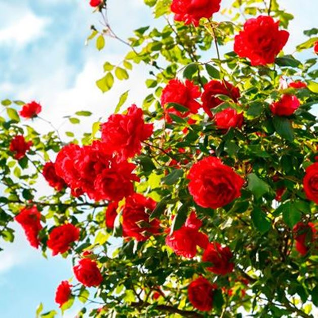 Picture for category Roses and rose bushes