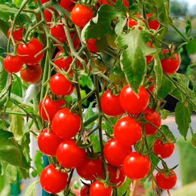 Picture for category Tomatoes