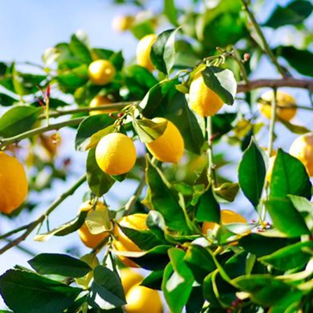 Picture for category Citrus trees