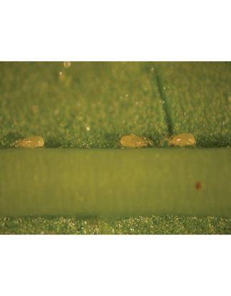 Imagen de Swirski Ulti Mite Depredadores  (Amblyseius swirskii) contra mosca blanca y trips