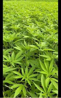 Imagen de Planta CBD Certificado Kompolti 15 cm Plantula