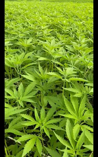 Picture of Planta CBD Certificado Kompolti 15 cm Plantula