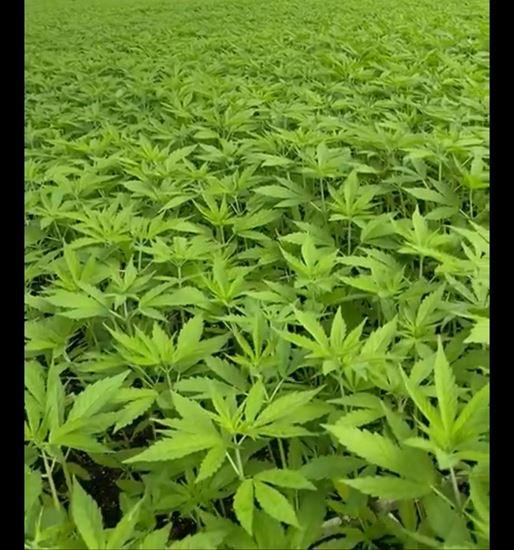 Imagen de Planta CBD Certificado Kompolti 25 cm Plantula