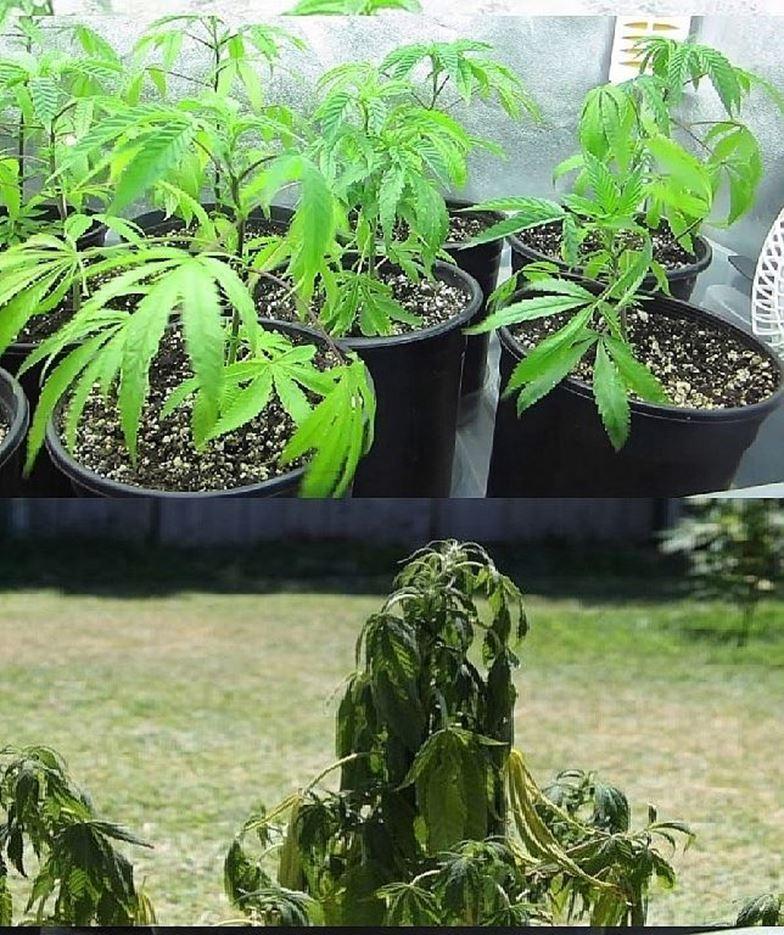Las hojas de Marihuana te dicen exactamente cómo ella se siente Parte 2