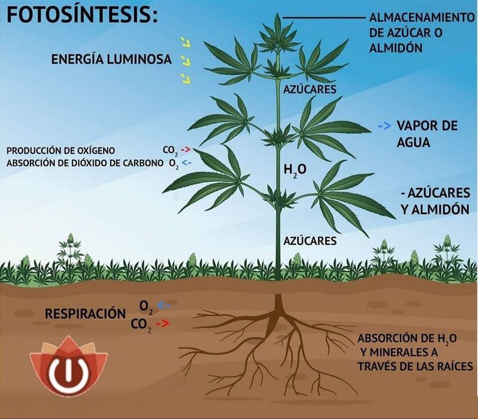 Fotosíntisis en plantas de marihuana explicado